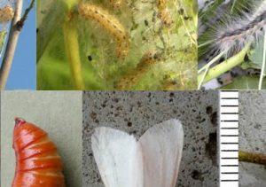hyphantria_-cunea_ciclo_biologico